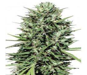 Marruecos Beldía Kif - ACE Seeds