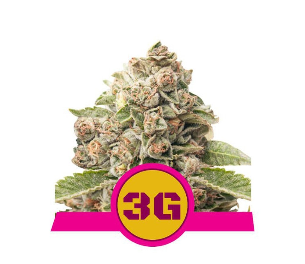 Triple G -  Royal Queen Seeds