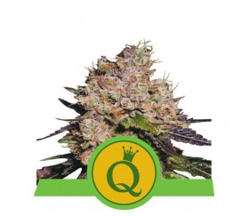 Purple Queen Automatic - Royal Queen Seeds