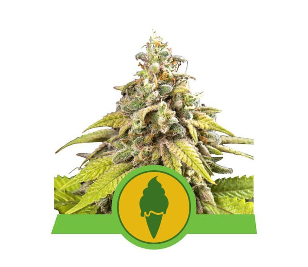 Green Gelato Automatic - Royal Queen Seeds