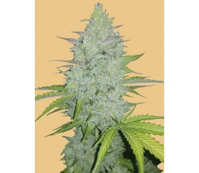 Original Auto Cheese - Fast Buds Seeds