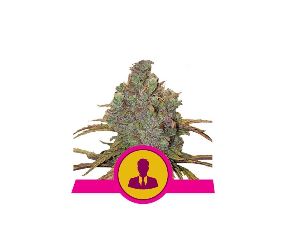 El Patrón - Royal Queen Seeds