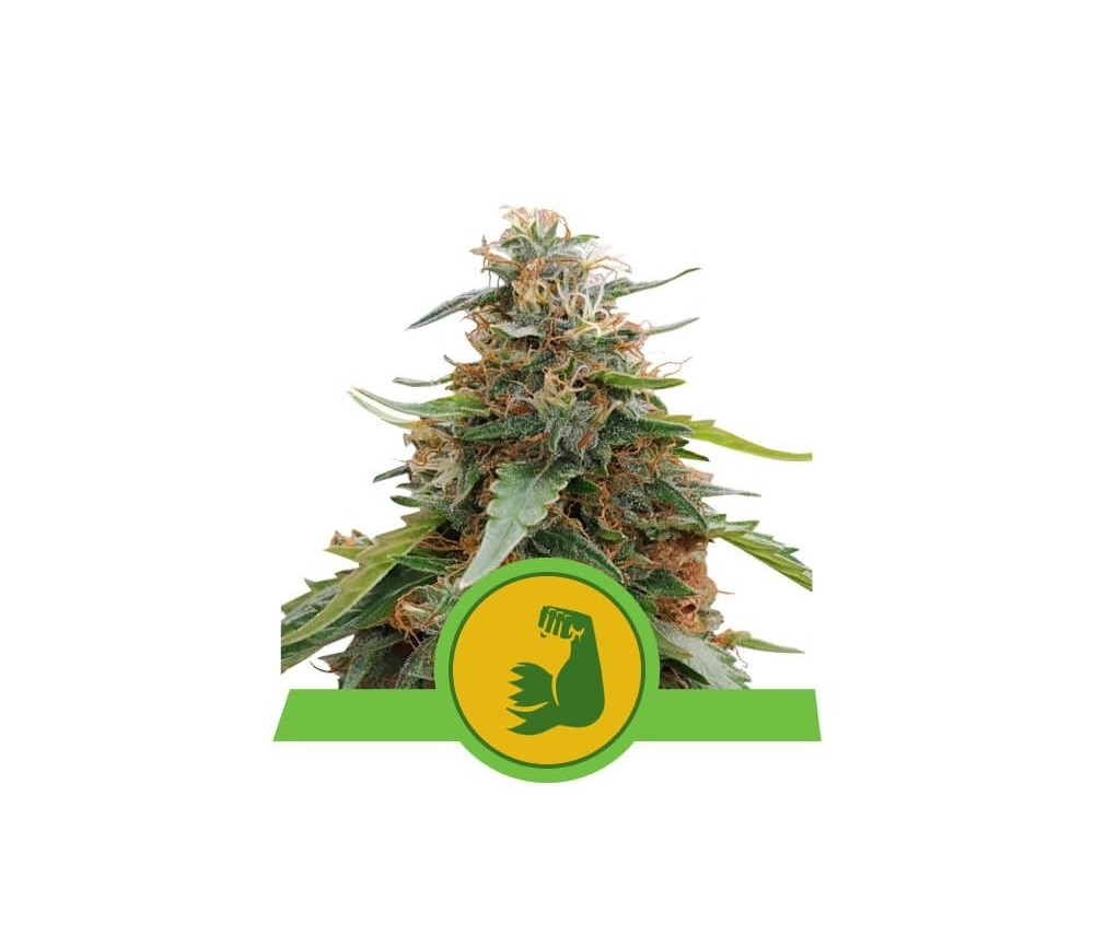 Hulkberry Automatic - Royal Queen Seeds