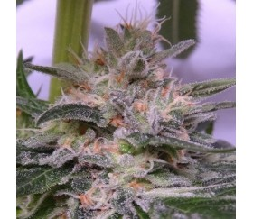 Bubba Hash de ACE Seeds