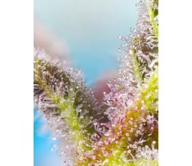 Purple Punch OG - Sweet Seeds