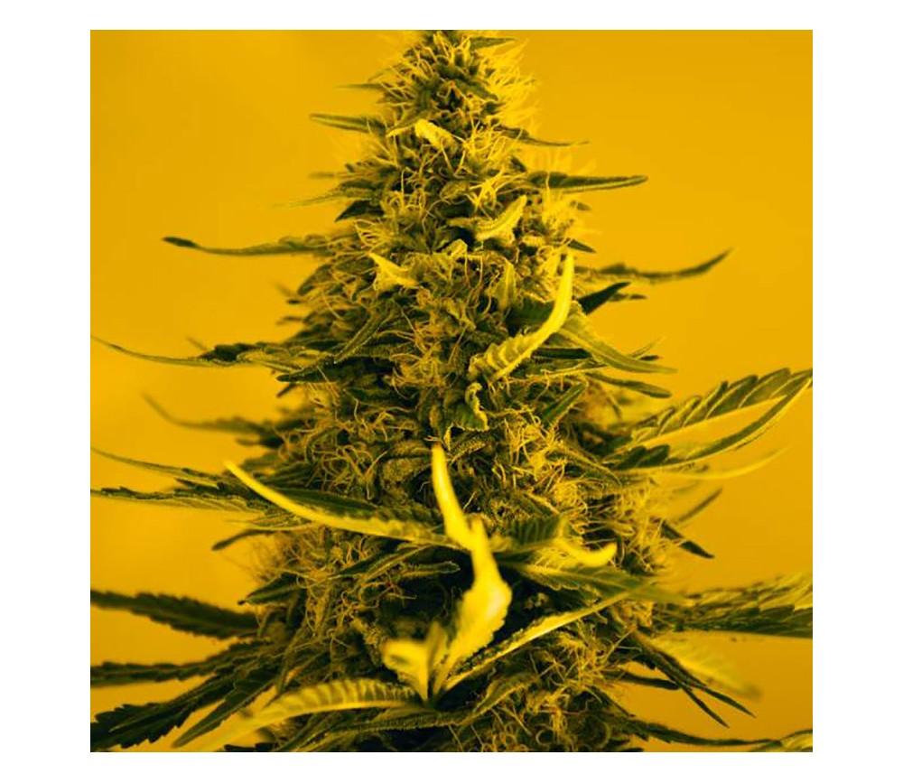 White Widow Auto - Nirvana Seeds