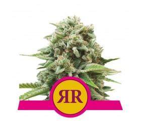 Royal Runtz - Royal Queen Seeds