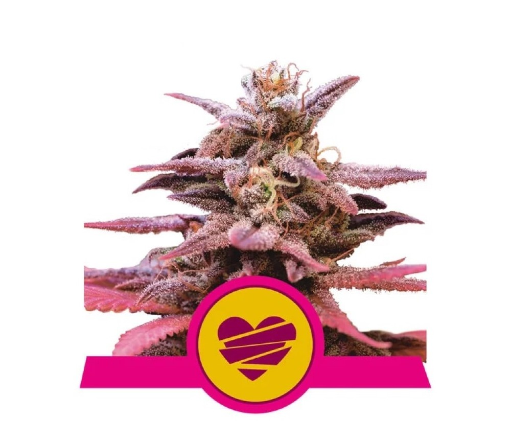 Wedding Crasher - Royal Queen Seeds