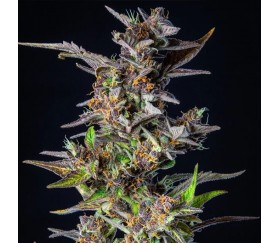 Watermelon Automatic - Royal Queen Seeds