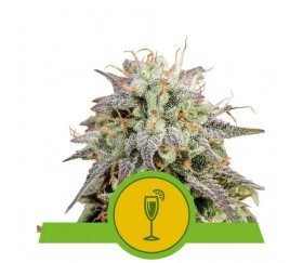 Mimosa Automatic - Royal Queen Seeds