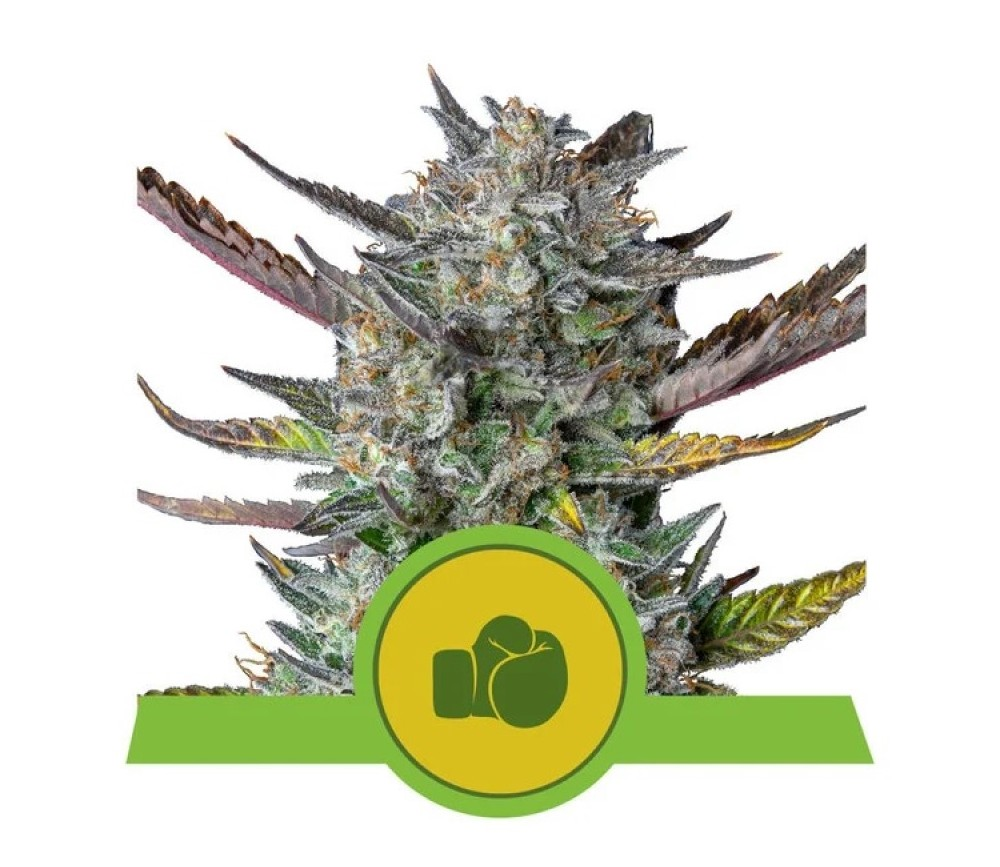 Purple Punch Automatic -Royal Queen Seeds