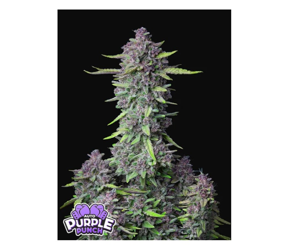 Purple Punch Auto -  Fast Buds