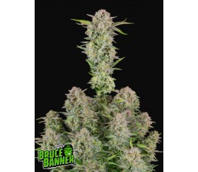 Bruce Banner Auto -Fast Buds