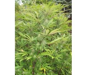 Green Mountain Grape Standard - ACE Seeds