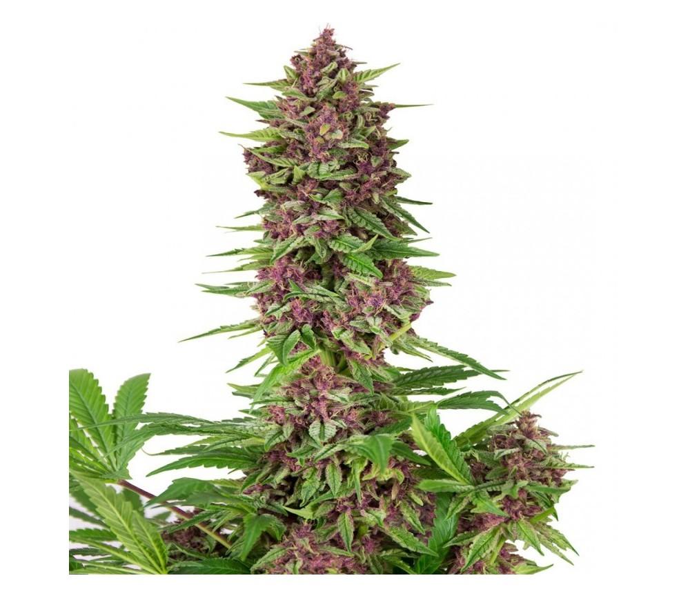 Purple Kush - Buddha Seeds