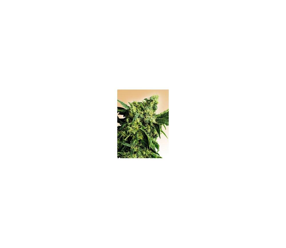 MR. NICE G13 X HASH PLANT REGULARES