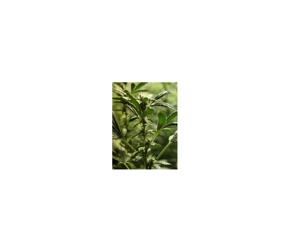 HASH PLANT REGULARES