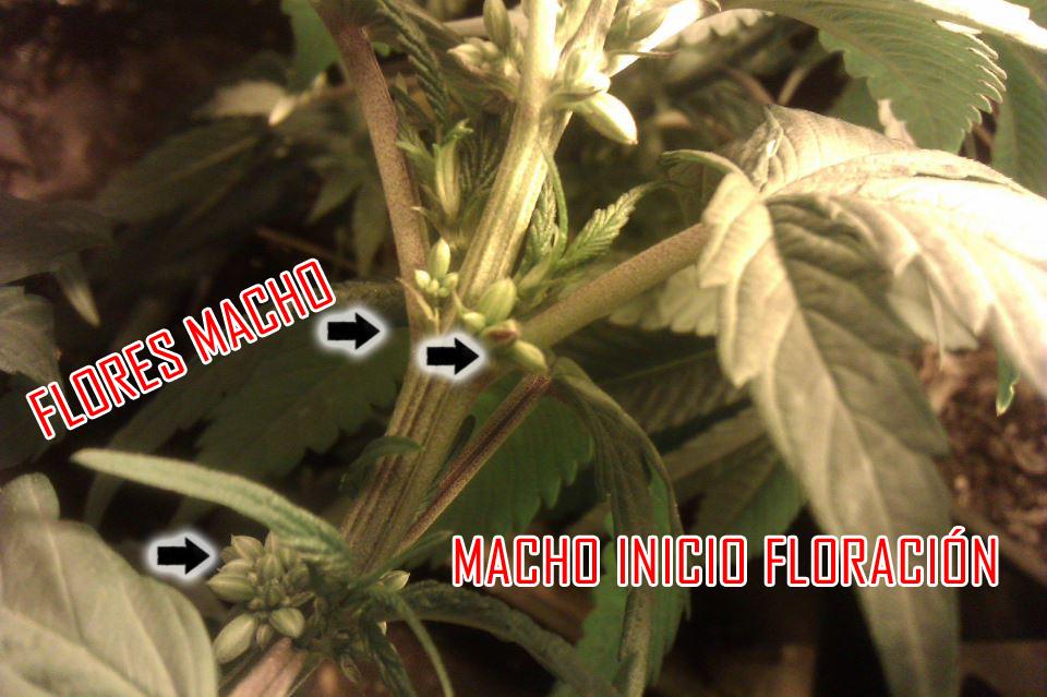 Determinando el sexo de la planta de marihuana