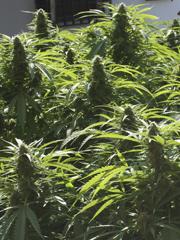 Todav�a est�s a tiempo de plantar marihuana