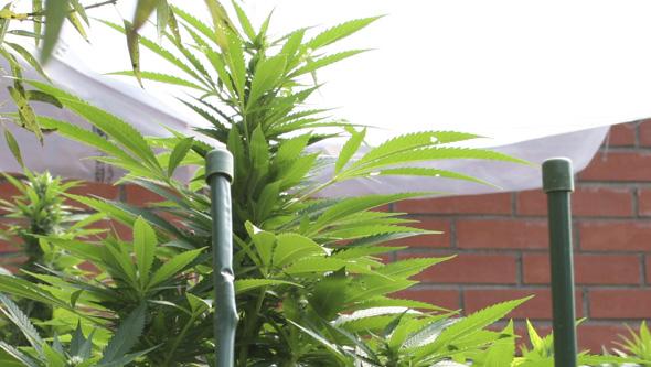 Planta marihuana hojas mordidas por oruga