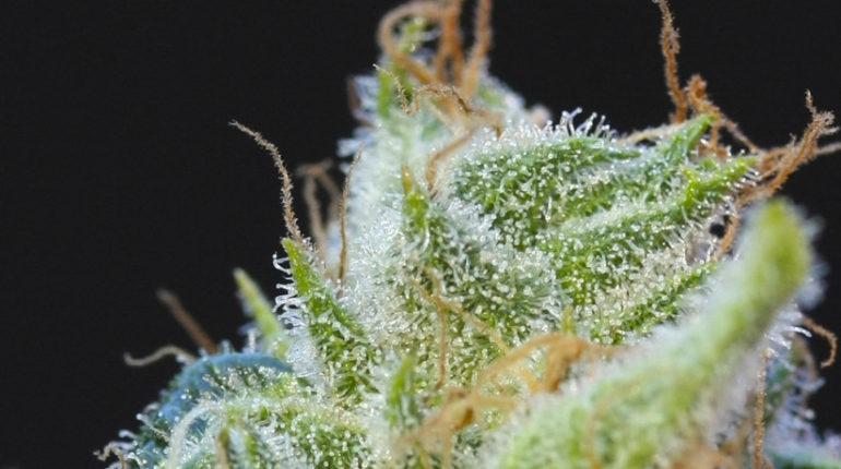 Cuando cosechar marihuana