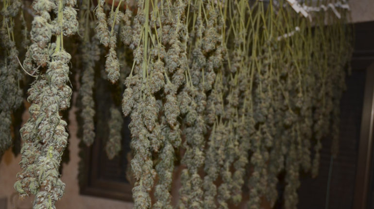 Como secar, curar y almacenar marihuana