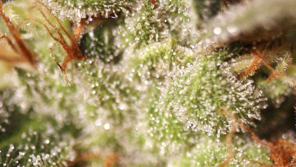 Planta de marihuana en la fase de maduración
