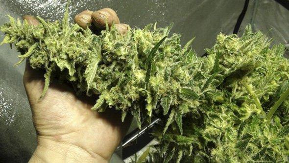 C Mo Manicurar Tus Plantas De Marihuana La Huerta Blog
