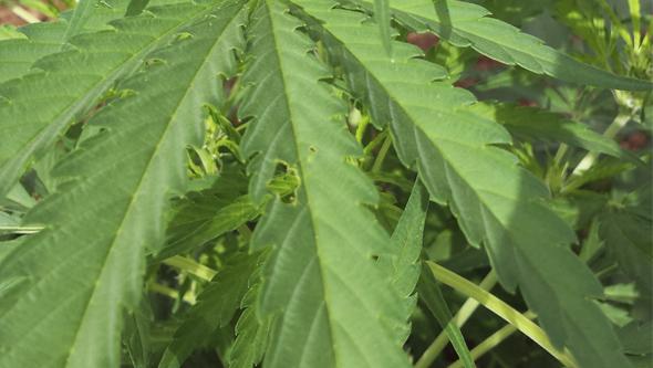 Planta de marihuana atacada por una oruga del cogollo