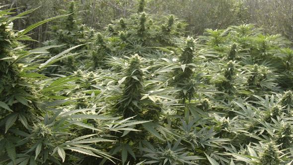 Plantas de marihuana floreciendo en exterior