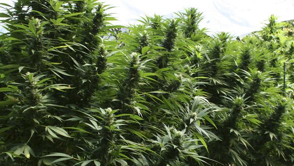 Plantas de marihuana sanas desarrollándose en exterior
