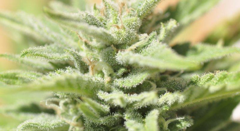 Como cultivar semillas autoflorecientes en exterior