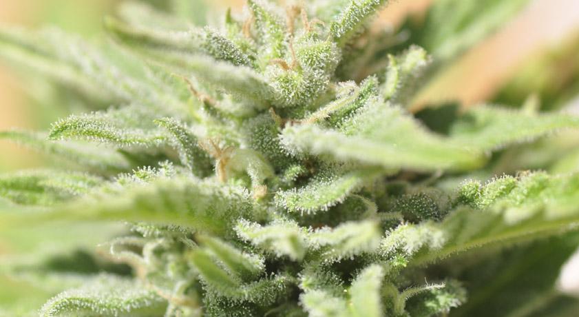 Cómo cultivar semillas autoflorecientes en exterior - La Huerta Blog