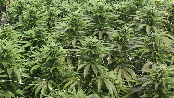 Esquejes de marihuana floreciendo en exterior