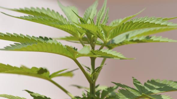 Planta autofloreciente creciendo