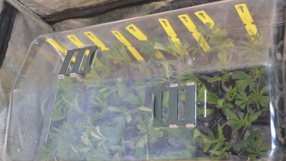 Invernadero con esquejes de marihuana
