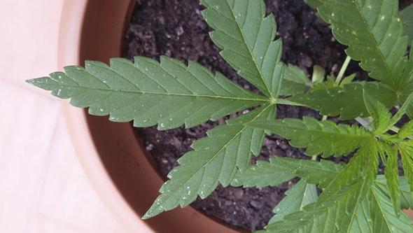 Marihuana crecimiento con mosca blanca