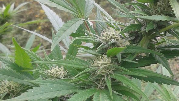 Mosca blanca en floracion de planta de marihuana