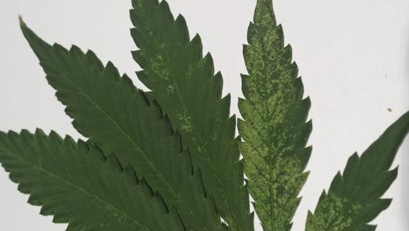 Plaga de trip durante el crecimiento de la marihuana