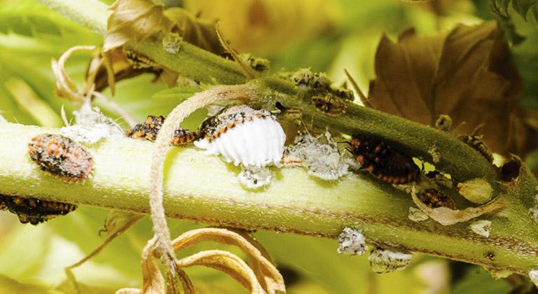 Resultado de imagen de cochinilla plantas