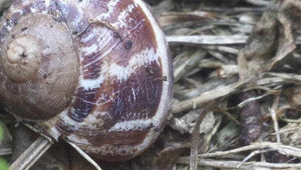 La cáscara del caracol lo protege de numerosos enemigos naturales