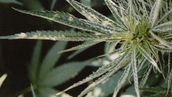 Planta de marihuana en floracion con microacaro