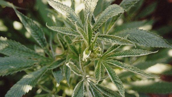 Planta de marihuana en crecimiento con microácaro
