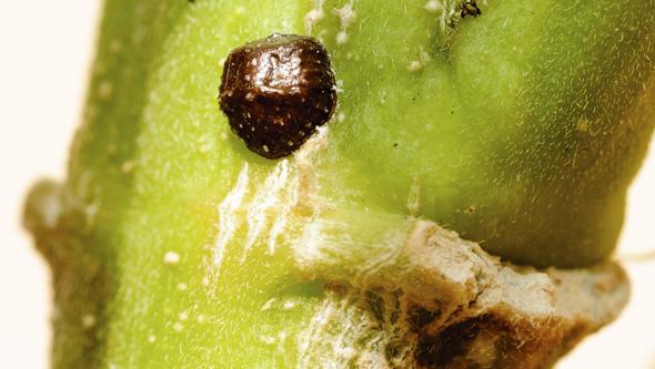 Cochinilla insecto reproduccion asexual de las plantas