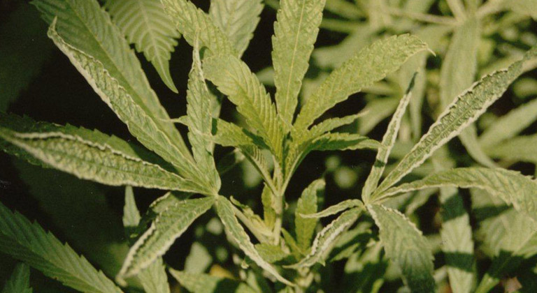 Como prevenir y eliminar microacaro en marihuana