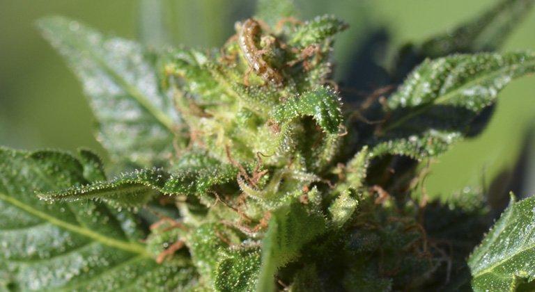 Cómo prevenir y eliminar la oruga del cogollo en plantas de marihuana