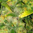Cómo prevenir y eliminar Botrytis en marihuana