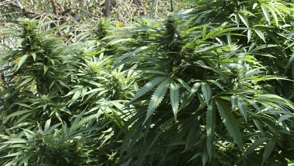 Plantas de marihuana sin Oidio