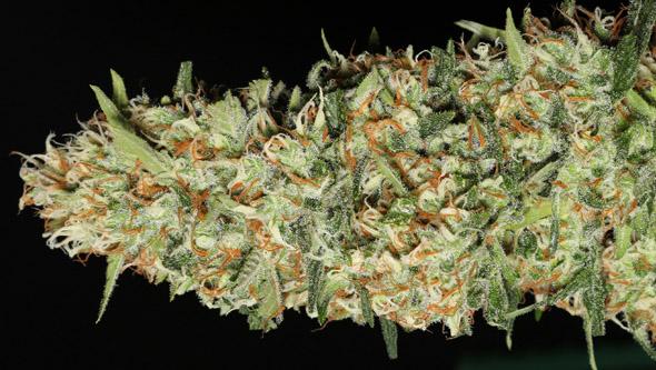 Jamaican Dream variedad de floración rápida