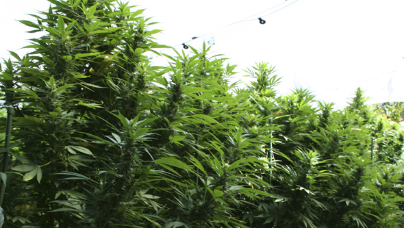 Plantas fotodependientes